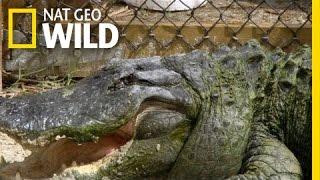 One-Eyed Gator | Swamp Men