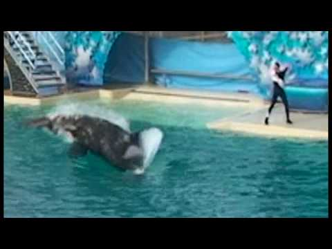 Shamu attacks and kills Pelican during show