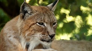 World's most endangered cat - learn about the LYNX