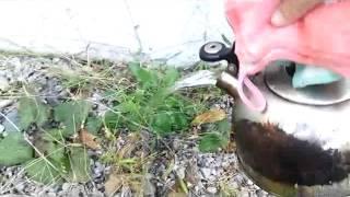 エコで無農薬雑草どくだみの除草