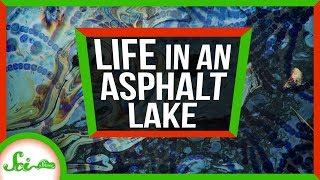 Secrets of Life from A Giant Pool of Asphalt   Weird Places: Pitch Lake, Trinidad