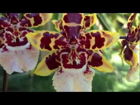 , title : 'Orchid care Phalaenopsis alternative Oncidium Colmanara Wildcat