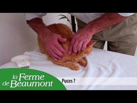 Les helminthes passant du chat chez la personne