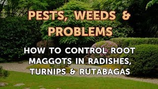 How to Control Root Maggots in Radishes, Turnips & Rutabagas