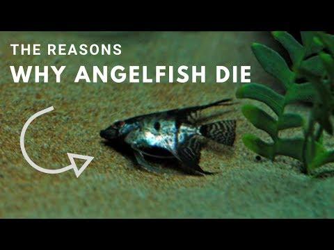 , title : 'The Reasons Why Angelfish Die