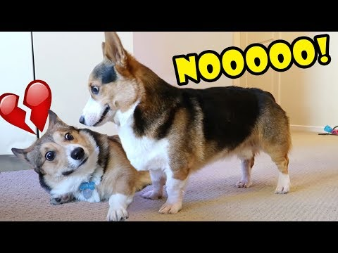 My Dog Rejects NEW CORGI Brother Surprise! || Life After College: Ep. 616