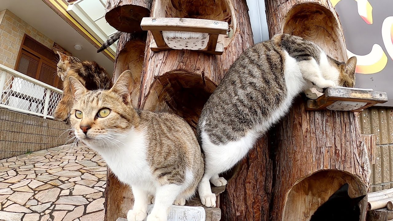 猫がなる木!?丸太の猫ハウスでおやつを食べる猫達