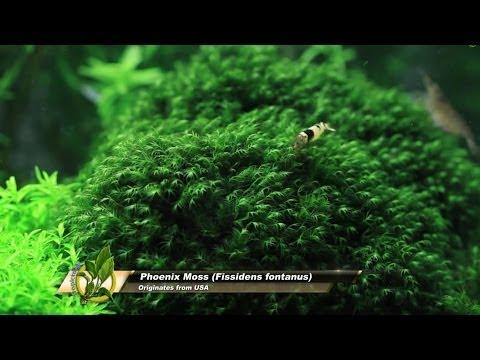 Video Phoenix Moss - Fissidens fontanus