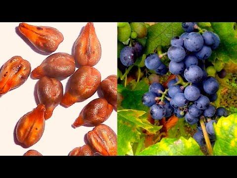 Semillas de Uva: Propiedades y Beneficios - ¿Es Bueno Comer Semillas de Uva?