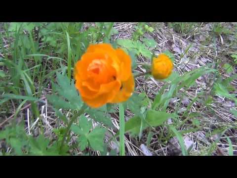 Цветы Огоньки Цветы сибири Медуница Таежные цветы Жарки сибирские розы Цветы медуница Цветы жарки