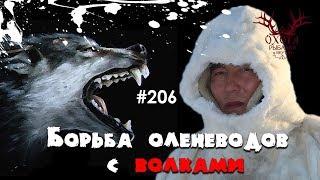 Борьба оленеводов с волками