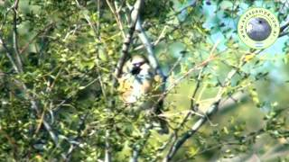 preview picture of video 'PEPITERO_CHICO_Saltatricula_multicolor1.mpeg'