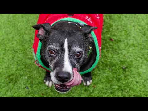 Stella, an adopted American Staffordshire Terrier & Bull Terrier Mix in Pasadena, CA