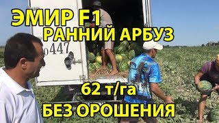 Эмир F1 - Ранний арбуз. 62 т/га БЕЗ ОРОШЕНИЯ