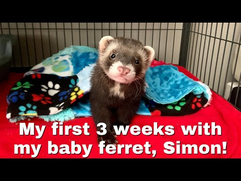 , title : 'My first 3 weeks with my baby ferret, Simon!
