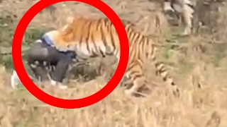 TIGER CAUGHT EATING MAN IN FRONT OF WIFE & CHILDREN AT CHINESE ZOO