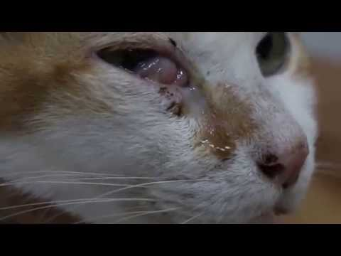 A 10-year-old Cat Has A Swelling Below The Right Eye - Malar Abscess?