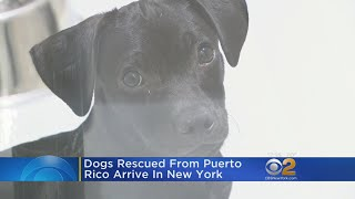 Dogs Rescued From Puerto Rico Arrive In New York