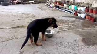 Храбрый щенок немецкой овчарки Граф.Одесса.