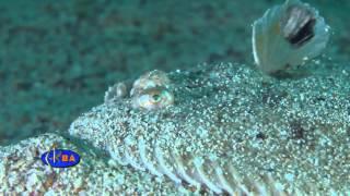 Рыбы Черного моря. Морской язык.