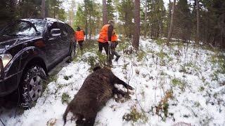 Смотреть онлайн Охота на крупного секача с собаками