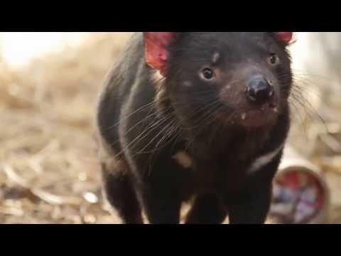 Partnership with Save the Tasmanian Devil Program