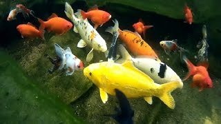 sanke gold golfish blackwater creek koi farm shubunkin