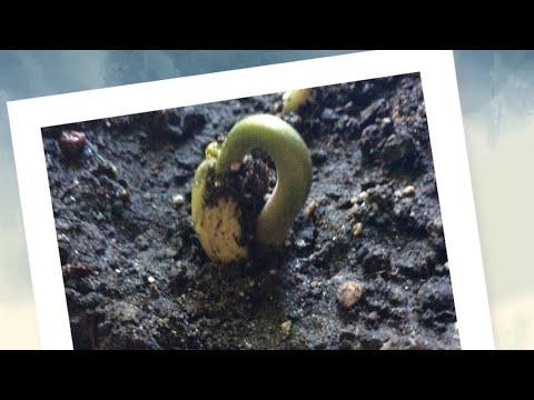Как вырастить фасоль дома? серьезная правда Alice DAR 