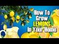 How To Turn A Lemon Into A Lemon Tree