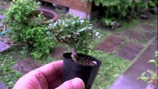 サルスベリUさるすべり・百日紅花もの盆栽・bonsaitree