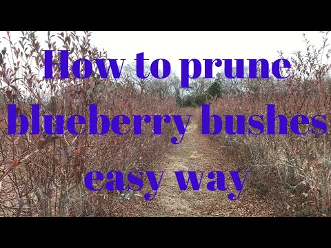 How to prune blueberry bushes the easy way