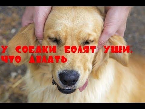 У собаки болят уши. Что делать