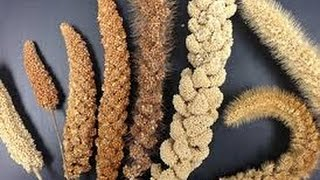 3 Important Reason To Take Millet Grains