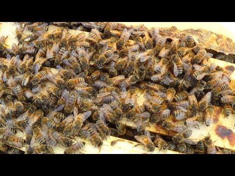 Итог объединения пчелы ранней весной на пасеке
