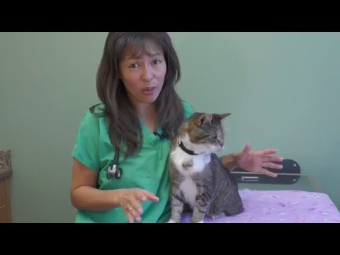 How To Treat Feline Acne | Dr. Justine Lee