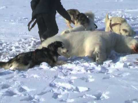 Hunting A Polar Bear With Dogs Natural History