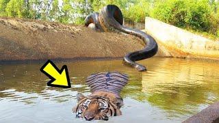 Un Tigre Se Enfrentó a Una Pitón Con Un Final INCREÍBLE | E.p 35 | 10 Batallas Épicas de Animales