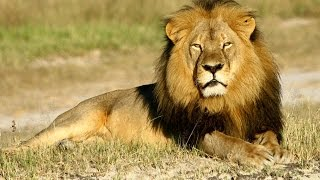 Stray lion mauls man in Nairobi - VIDEO