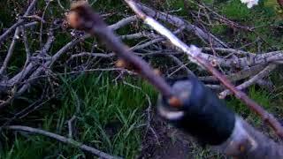 Прививка вишни  видео