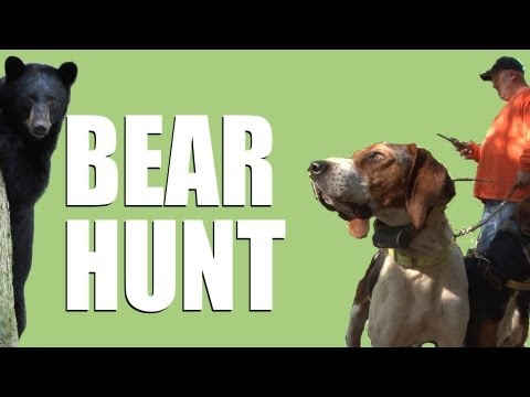 Hunting bear with hounds