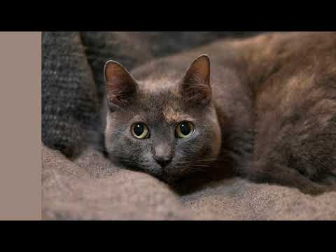 Spice, an adoptable Domestic Short Hair & Dilute Tortoiseshell Mix in Brooklyn, NY_image-1