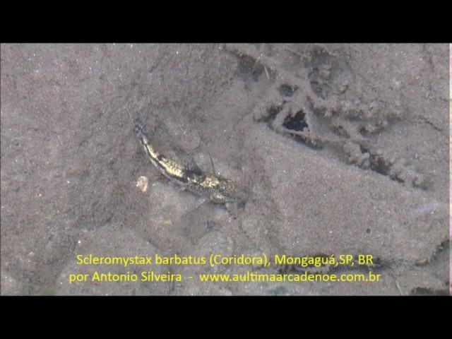 Scleromystax barbatus (coridora) MongaguáSP 14 4 2017 Antonio Silveira