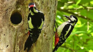 Great Spotted Woodpecker and Chicks 2018