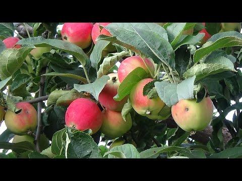 Анонс. Конструкция для сбора яблок из пластиковой бутылки/Device for manual collection of apples/收苹果