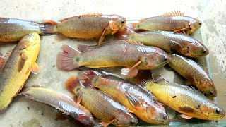 These are freshwater fish that I caught in my hometown