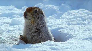 How an Arctic Squirrel Survives Winter | Wild Alaska | BBC Earth