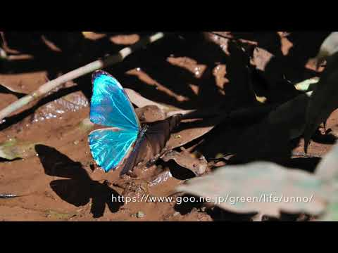 南米のモルフォチョウ Morpho Butterflies from South America