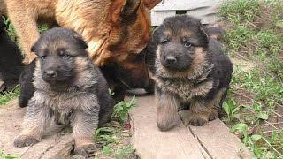 Щенки Немецкой Овчарки 25 дней. German Shepherd puppies. बिक्री के लिए पिल्ले।