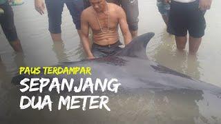 Paus Sepanjang Dua Meter Terdampar di Pantai Gampong Leuge, Berhasil Diselamatkan Nelayan