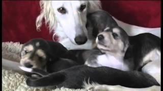 Der Saluki, Der Arabische Persische Windhund